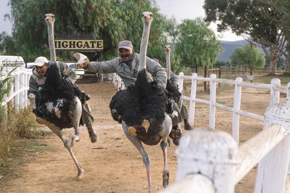 Highgate Ostrich Farm, Oudtshoorn